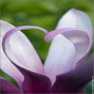 coeur-magnolia